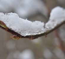 Iced Branch by loz788