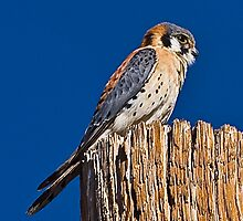 American Kestrel (Male) by Marvin Collins