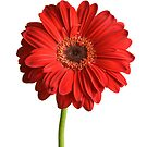 Red Gerbera by Marlene Hielema