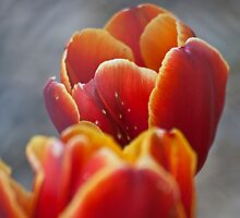 Two Tone Tulip Vignette by Dave Bledsoe