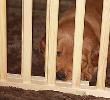 I Promise NOT To Misbehave! Golden Puppy '10 by goldnzrule
