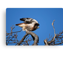 Red-tailed Hawk taking off - Amherst Island Canvas Print