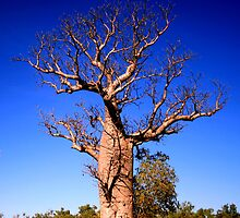Boab Tree, The Kimberley, Australia by Downhillerdave