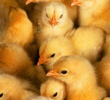 Clutch of Chicks by taiche