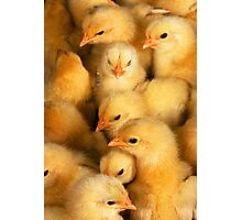 Clutch of Chicks Photographic Print