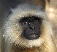 Portrait of a Langur by Ollie de Brett