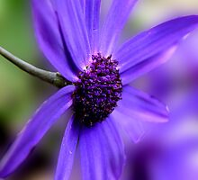 Purple Osteospermum by Lissywitch