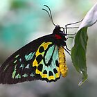 Painted Lady by digipix
