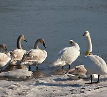 Collared Family of Trumpeter Swans by Gretchen  Mueller Steele