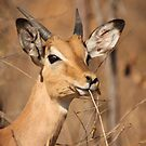 Impala by Jo McGowan
