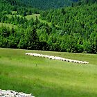 Flock of sheep in countryside by smrcek
