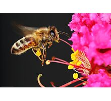 Honey Bee in Flight Photographic Print