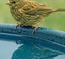 Vesper Sparrow at Birdbath by TeresaB