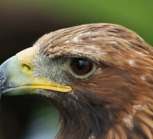 Golden Eagle by Franco De Luca Calce
