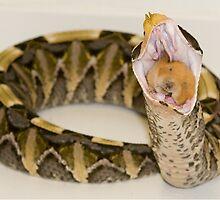 Gaboon Viper eating a hamster by MidnightRocker