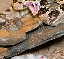 Arizona black tail rattlesnake strikes out by MidnightRocker