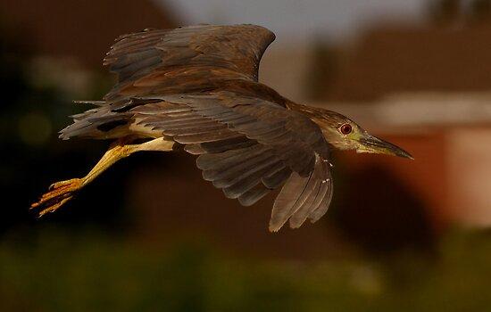 Juvenile  Night heron by Jim Cumming