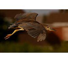 Juvenile  Night heron Photographic Print