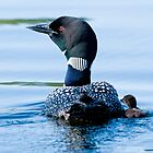 Adult Loon and Baby - Mississippi Lake, Ontario by Michael Cummings
