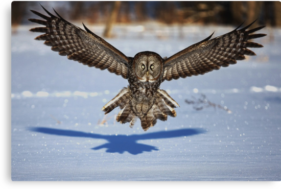Great Grey Owl ...in your face. by Jim Cumming