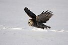 Great Grey Owl flies by me by Jim Cumming