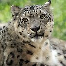 Snow Leopard by Marija