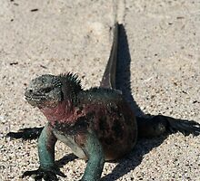 Galapagos Marine Iguana Dragging its Tail, Ecuador by Jane McDougall