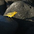 Yellow Warbler, Grey Rock by Jane McDougall