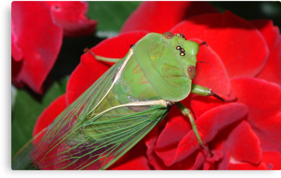 Cicada by Kerry  Hill