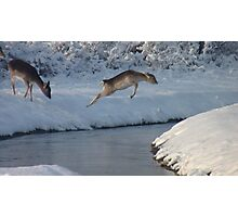 Jumping Fallow deer in the snow 4 Photographic Print