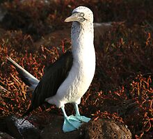 Blue Footed Booby by Jane McDougall