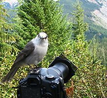 Smile, Says Grey Jay! by siemrich