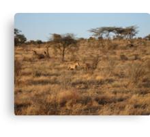 Lion kill - Masai Mara, Kenya Canvas Print