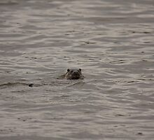 European Otter by Jon Lees
