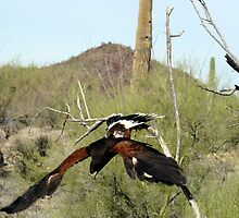 """oops"" Harris Hawk  by Sherry Pundt"