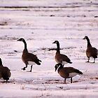 Gaggle of Canadian Geese in Snow by Alyce Taylor