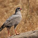 Pale Chanting Goshawk by Jo McGowan