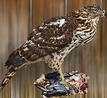 new fledgling (cooper's hawk) by KathleenRinker