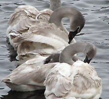 Young Swan Cygnets by livinginoz