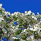 Dogwood Blooms Against The Sky by Linda Yates