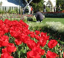 Beautiful Red Tulips by Jade Thorby