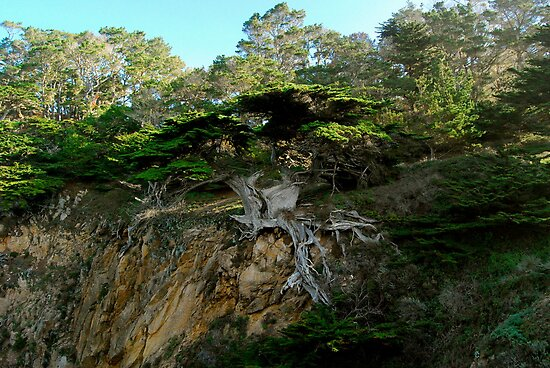 Old Veteran - Point Lobos State Reserve by nortonlo