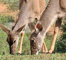Two Kudu Females & A Tiny Bird by ©   Elaine van Dyk