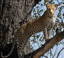 Perfect pose. Moremi Wildlife Reserve, Botswana by Neville Jones