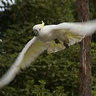 Sulphur Crested Cockatoo in Flight by Keith Robinson