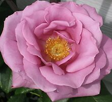 Lavander Rose 3 by art2plunder