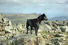 Tarn the Terrier... on Allen Crags by VoluntaryRanger