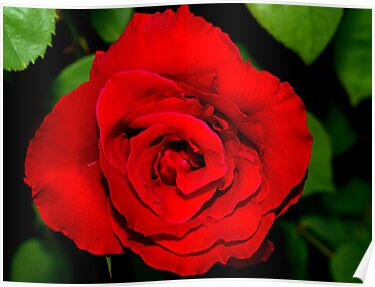 Star-shaped rose by ♥⊱ B. Randi Bailey