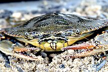 Blue Claw Crab in the Sand by Kim McClain Gregal