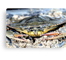 Blue Claw Crab in the Sand Canvas Print